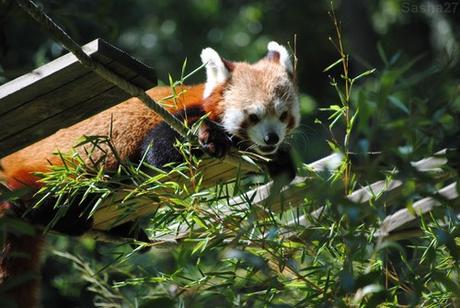 (15) Ying, le mâle panda roux.