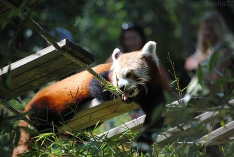 (6) Ying, le mâle panda roux.