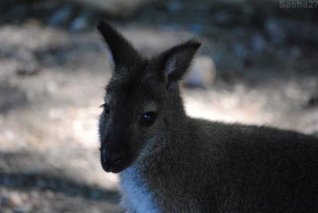 (1) Le wallaby de Bennett.