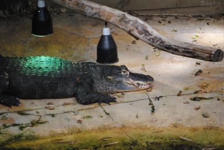 (3) L'alligator du Mississippi.