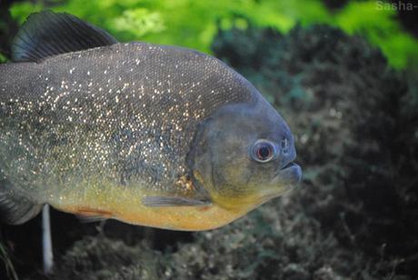 (1) Le piranha rouge.
