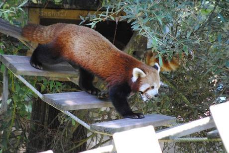 (2) Ying, le mâle panda roux.