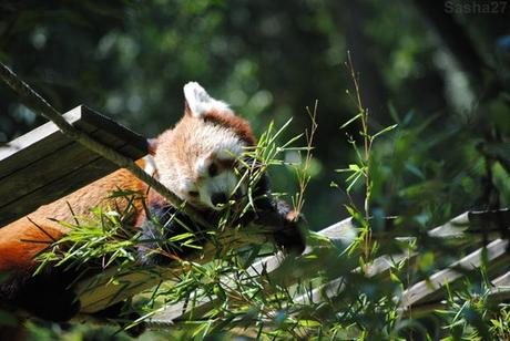 (13) Ying, le mâle panda roux.