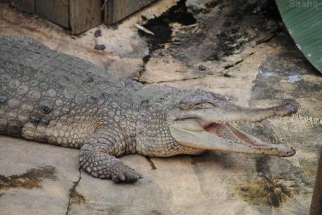 (4) Le crocodile à museau allongé d'Afrique.