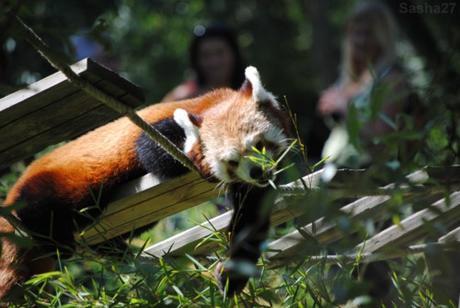 (5) Ying, le mâle panda roux.