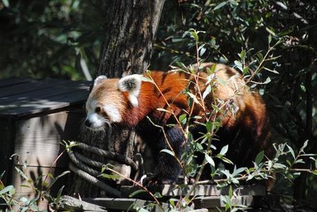 (3) Ying, le mâle panda roux.