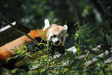 (12) Ying, le mâle panda roux.
