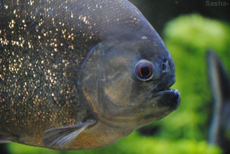 (3) Le piranha rouge.