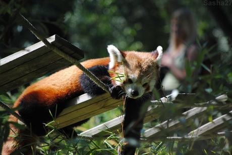 (8) Ying, le mâle panda roux.