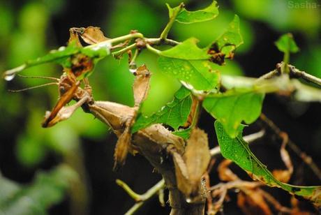 (1) La femelle phasme scorpion.