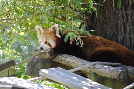 (17) Ying, le mâle panda roux.