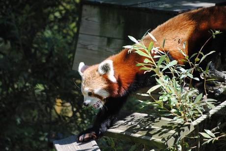 (4) Ying, le mâle panda roux.