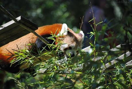 (11) Ying, le mâle panda roux.