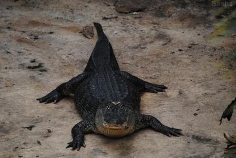 (2) L'alligator du Mississippi.