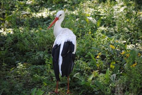 (4) La cigogne blanche.