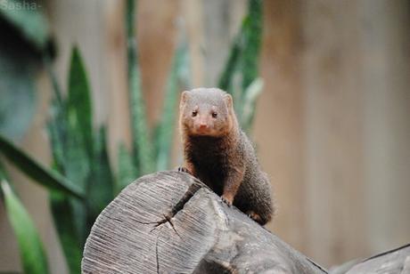 (2) La mangouste naine d'Afrique.