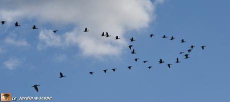 Migration des cormorans