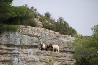 Chèvres sur les falaises du lac