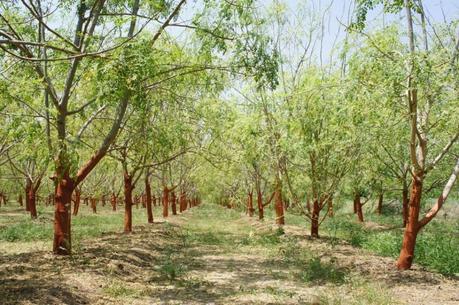 Le moringa, plante miraculeuse contre la malnutrition ?