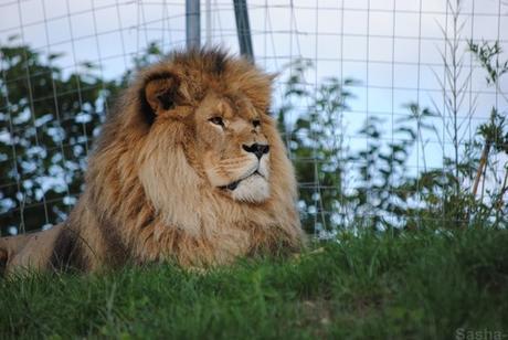 (2) Ramsès, le lion.