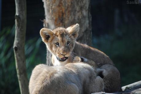 (21) Les petites princesses lionnes.