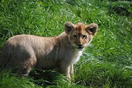 (37) Les petites princesses lionnes.