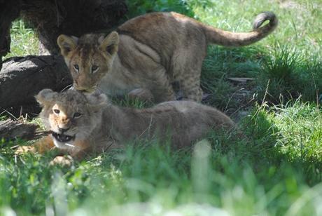 (5) Les petites princesses lionnes.