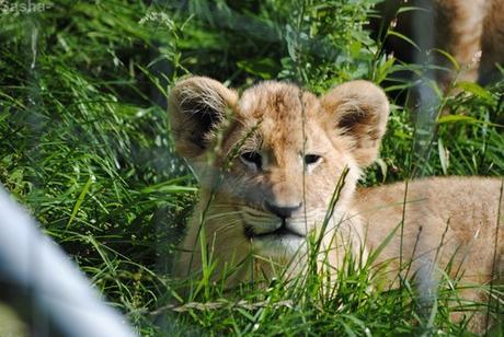 (33) Les petites princesses lionnes.
