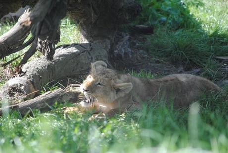 (2) Les petites princesses lionnes.