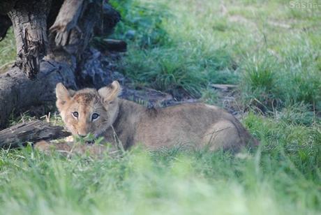 (16) Les petites princesses lionnes.