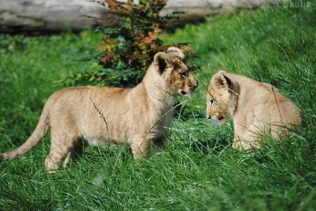 (30) Les petites princesses lionnes.