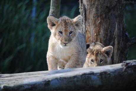 (18) Les petites princesses lionnes.