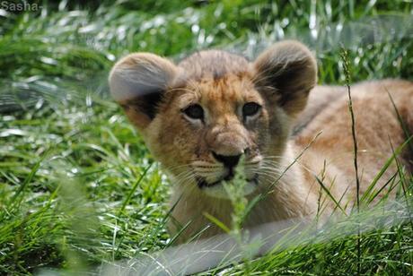 (35) Les petites princesses lionnes.