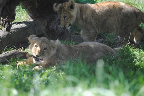 (4) Les petites princesses lionnes.