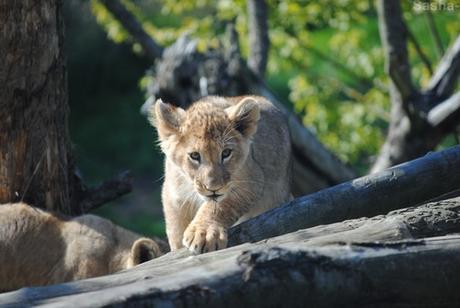 (27) Les petites princesses lionnes.