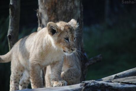 (19) Les petites princesses lionnes.