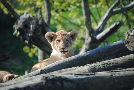 (26) Les petites princesses lionnes.
