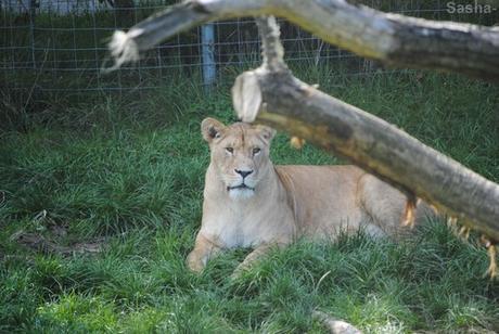 (2) La lionne.