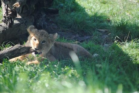 (9) Les petites princesses lionnes.