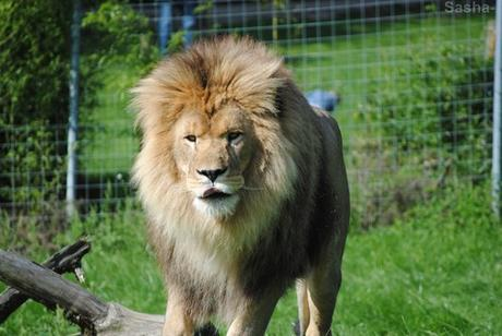 (6) Ramsès, le lion.
