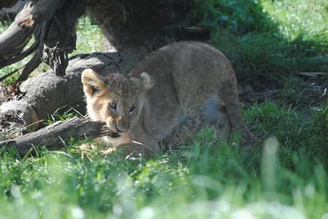 (8) Les petites princesses lionnes.