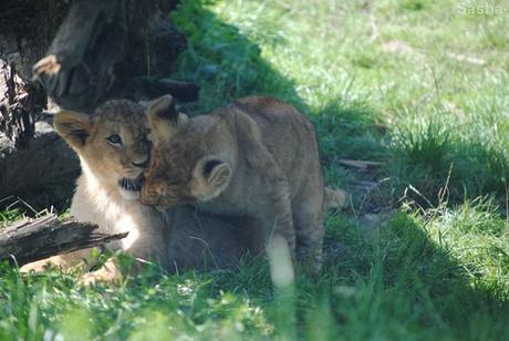 (10) Les petites princesses lionnes.