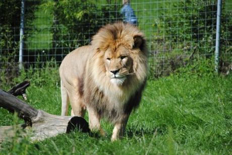 (4) Ramsès, le lion.