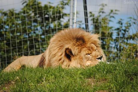 (1) Ramsès, le lion.