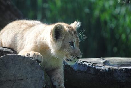 (23) Les petites princesses lionnes.