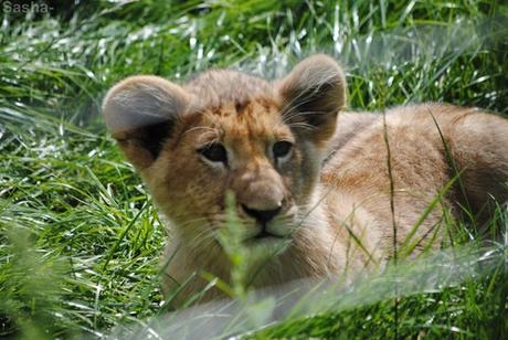 (36) Les petites princesses lionnes.
