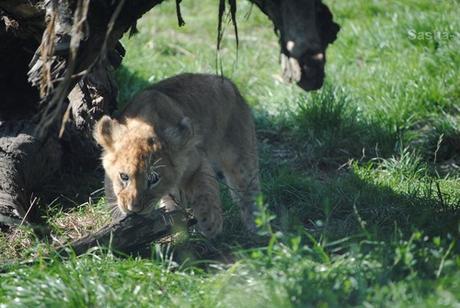 (32) Les petites princesses lionnes.