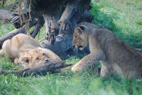 (15) Les petites princesses lionnes.