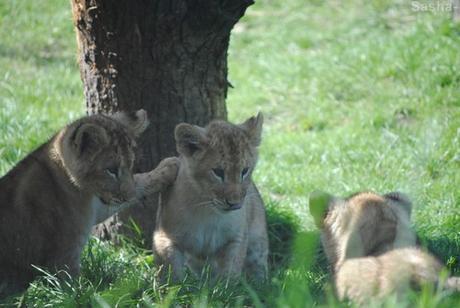 (1) Les petites princesses lionnes.