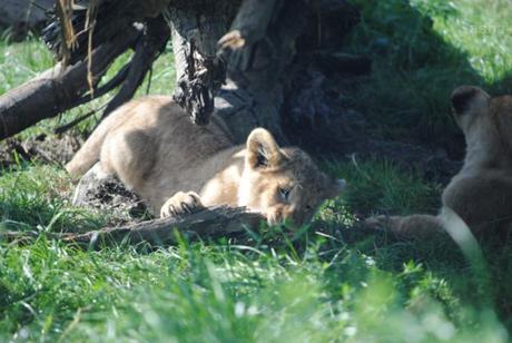 (12) Les petites princesses lionnes.